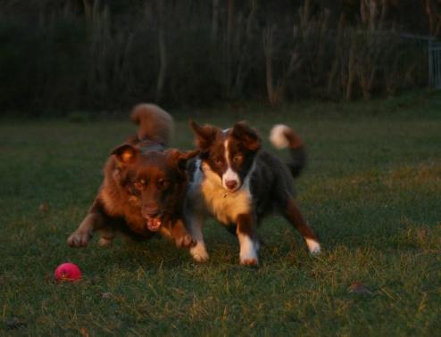 Allround australian shepherd aussie vs border